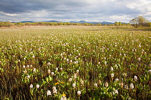 Bogbean / Buckbean (Menyanthes trifoliata) flowering in pool system. Insh Marshes, Scotland, May.  -  Peter Cairns / 2020VISION