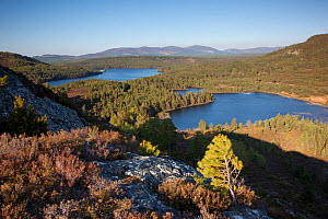 Pine regeneration above Rothiemurchus Forest. Cairngorms National Park, Scotland, May 2011.  -  Peter Cairns / 2020VISION