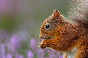 Red Squirrel (Sciurus vulgaris) in flowering heather. Inshriach Forest, Scotland, September.  -  Peter Cairns / 2020VISION
