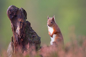 Red Squirrel (Sciurus vulgaris) in pine forest. Glenfeshie, Scotland, December.  -  Peter Cairns / 2020VISION