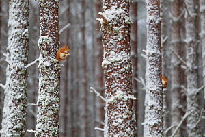 Two Red Squirrels (Sciurus vulgaris) in snowy pine forest. Glenfeshie, Scotland, January.  -  Peter Cairns / 2020VISION
