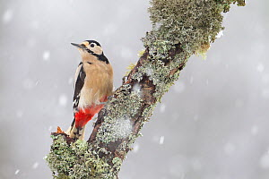 Great Spotted Woodpecker (Dendrocopus major) in snowfall. Cairngorms National Park, Scotland, February. - Peter Cairns / 2020VISION