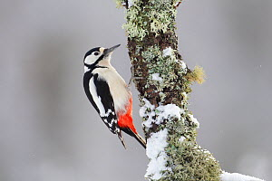 Great Spotted Woodpecker (Dendrocopus major) in winter. Cairngorms National Park, Scotland, February. - Peter Cairns / 2020VISION