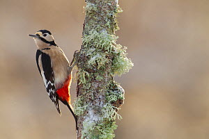 Great Spotted Woodpecker (Dendrocopus major) on birch tree, Cairngorms National Park, Scotland, December. - Peter Cairns / 2020VISION