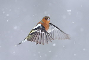 RF- Chaffinch (Fringilla coelebs) male in flight in snow. Glenfeshie, Scotland, February. (This image may be licensed either as rights managed or royalty free.)  -  Peter  Cairns / 2020VISION