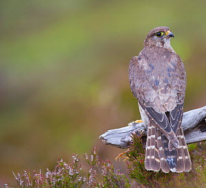 Merlin (Falco columbarius) female on perch with Meadow Pipit chick prey, legs just visible, for its offspring. Sutherland, Scotland, June. - Rob Jordan / 2020VISION