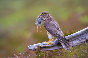 Merlin (Falco columbarius) female on perch with Meadow Pipit chick prey for its offspring. Sutherland, Scotland, June.  -  Rob Jordan / 2020VISION