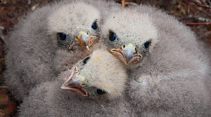 Merlin (Falco columbarius) chicks at nest site. Sutherland, Scotland, June.  -  Rob Jordan / 2020VISION