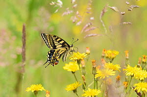 Swallowtail Butterfly (Papilio machaon britannicus) feeding on hawkbit flower. Strumpshaw Fen, Norfolk, June.Did you know? Swallowtail butterflies are the largest species of butterfly in the UK - with...  -  Terry Whittaker / 2020VISION