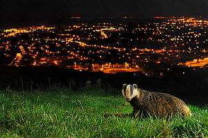 European Badger (Meles meles) on the North Downs above Folkestone. Kent, UK, June. Camera trap photo. - Terry  Whittaker / 2020VISION