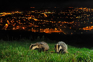 European Badgers (Meles meles) adult and juvenile on the North Downs above Folkestone, Kent, UK. Camera trap photo.  -  Terry Whittaker / 2020VISION