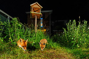 Red foxes (Vulpes vulpes) foraging for scaps in town house garden managed for widlife. Vixen and cub. Kent, UK, June. Camera trap image. Property released. - Terry Whittaker / 2020VISION