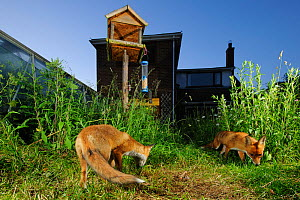 Red fox (Vulpes vulpes) foraging for scaps in town house garden managed for widlife. Vixen and cub. Kent, UK, June. Camera trap image. Property released.  -  Terry Whittaker / 2020VISION