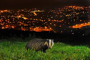 European Badger (Meles meles) on the North Downs above Folkestone, Kent, UK, June. Camera trap photo.  -  Terry Whittaker / 2020VISION