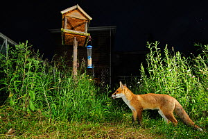 Red fox (Vulpes vulpes) foraging in town house garden managed for widlife. First year cub. Kent, UK. Camera trap image. Property released. - Terry Whittaker / 2020VISION