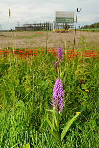 Southern marsh orchid (Dactylorhiza praetermissa) in protected area of brownfield development site. UK, Kent, June 2012. This site was developed soon after this picture was taken.  -  Terry Whittaker / 2020VISION