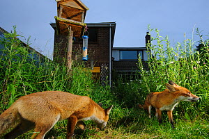 Red foxes (Vulpes vulpes) foraging in town house garden managed for widlife. Vixen and cub. Kent, UK, June. Camera trap image. Property released.  -  Terry Whittaker / 2020VISION
