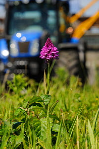 Pyramidal Orchid, (Anacamptis pyramidalis), on brownfield site being cleared for development with digging vehicle in background. Kent, UK, June 2012.  -  Terry Whittaker / 2020VISION