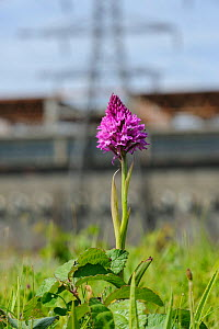Pyramidal Orchid (Anacamptis pyramidalis), on brownfield site being prepared for development. Kent, UK, June 2012. - Terry Whittaker / 2020VISION