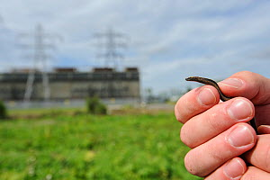 Slow worm (Anguis fragilis) being removed from brownfield site scheduled for development as part of mitigation project by Ecologist Brett Lewis. Kent, UK, June 2012.  -  Terry Whittaker / 2020VISION
