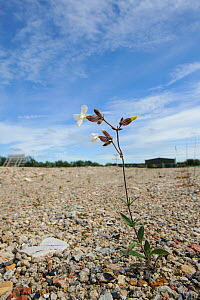 White campion (Silene latifolia) growing on brownfield site scheduled for development. Kent, UK, June.  -  Terry Whittaker / 2020VISION