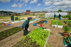 Community members cultivating and harvesting raised beds on former football pitch - Vetch field, now community allotments, Swansea West Glamorgan, Wales, UK, June 2006. Editorial use only  -  David Woodfall