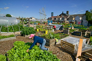 Community member cultivating lettuce and harvesting raised bed  on former football pitch - Vetch field -  now community allotment, Swansea West Glamorgan, Wales, UK, June 2006. Editorial use only  -  David Woodfall
