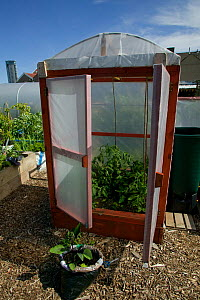 Cultivating tomatoes in plastic 'house' in shadow of tallest building in Wales on former football pitch - Vetch field -  now a community allotment, Swansea West Glamorgan, Wales, UK, June 2006. Editor...  -  David Woodfall