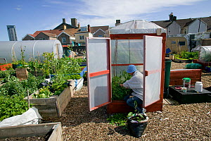 Cultivating tomatoes in plastic 'house', in shadow of tallest building in Wales, on former football pitch - Vetch field - now a community allotment, Swansea West Glamorgan, Wales, UK, June 2006. Edito...  -  David Woodfall