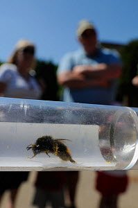 Red-tailed bumblebee (Bombus lapidarius) in collecting tube shown to members of the public during Arnos Vale Cemetery Bioblitz, Bristol, UK, May 2012  -  Nick Upton / 2020VISION