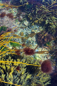 Epiphytic red alga (Ceramium sp.) tufts growing on tips of Thongweed (Himanthalia elongata) fronds just below extreme low water on a spring tide, alongside clumps of Toothed wrack (Fucus serratus) nea...  -  Nick Upton