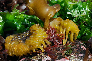 Bulbous holdfast of Furbellows (Saccorhiza polyschides), a large kelp, attached to a boulder low on a rocky shore alongside Sea lettuce (Ulva lactuca) and red algae, near Falmouth, Cornwall, UK, Augus...  -  Nick Upton