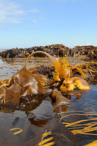 Bulbous holdfast and large spreading frond of Furbellows (Saccorhiza polyschides), a large kelp, attached to rocks very low on the shore alongside Thongweed (Himanthalia elongata) and Tangleweed kelp...  -  Nick Upton