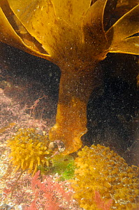 Bulbous holdfast and divided frond of Furbellows (Saccorhiza polyschides), a large kelp, attached to floor of a rockpool alongside red algae: Harpoon weed (Asparagopsis armata) and Coralweed (Corallin...  -  Nick Upton