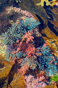 Colourful mix of Bushy rainbow wrack (Cystoseira tamariscifolia) with blue iridescent tips to its fronds and red Harpoon weed (Asparagopsis armata) surrounded by Coralweed (Corallina officinalis) Furb...  -  Nick Upton