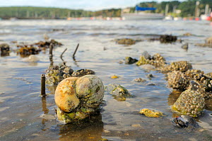 Group of American slipper limpets (Crepidula fornicata), invasive pests of oyster beds in Europe, stacked on top of one another on mudflats near barnacle encrusted Common mussels (Mytilus edulis) and...  -  Nick Upton