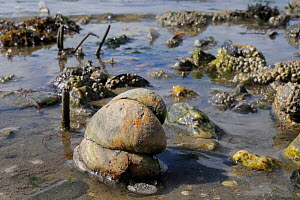 Three American slipper limpets (Crepidula fornicata), invasive pests of oyster beds in Europe, stacked on top of one another on mudflats near barnacle encrusted Common mussels (Mytilus edulis) and tub...  -  Nick Upton
