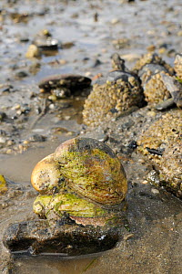 Three American slipper limpets (Crepidula fornicata), invasive pests of oyster beds in Europe, stacked on top of one another on mudflats near barnacle encrusted Common mussels (Mytilus edulis), Helfor...  -  Nick Upton