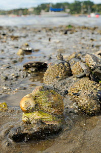 Three American slipper limpets (Crepidula fornicata), invasive pests of oyster beds in Europe, stacked on top of one another on mudflats near barnacle encrusted Common mussels (Mytilus edulis) with mo...  -  Nick Upton
