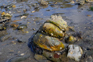 Three American slipper limpets (Crepidula fornicata), invasive pests of oyster beds in Europe, stacked on top of one another on mudflats, Helford River, Helford, Cornwall, UK, August.  -  Nick Upton
