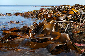 Dense, extensive bed of Tangleweed kelp (Laminaria digitata) exposed on a low spring tide, with sailing yachts on the horizon in the background, Cornwall, UK, August.  -  Nick Upton