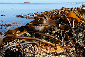 Holdfasts and fronds of Tangleweed kelp (Laminaria digitata) exposed on a low spring tide, Cornwall, UK, August.  -  Nick Upton