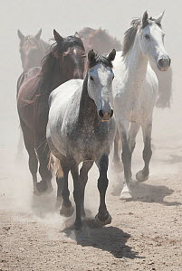 A herd of Retuerta mares trotting, Guadiamar scientific reserve, Donana National Park, Andalusia, Spain. This breed of horse was close to extinction in the 1990s with only 5 individuals left, but now... - Kristel Richard