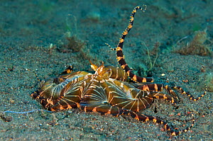 A wunderpus octopus (Wunderpus photogenicus) hunting by expanding its arms into a net to capture prey. Java sea, Amed, Bali, Indonesia.  -  Alex Mustard