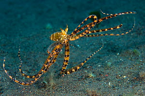 A wunderpus octopus (Wunderpus photogenicus) prowling over the seabed searching for food, Java Sea, Amed, Bali, Indonesia  -  Alex Mustard