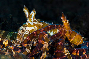 A pair of wunderpus octopus (Wunderpus photogenicus) during courtship/mating. The smaller male (right) is reaching round behind the female and trying to pass her his sperm with his hectocotylus (third...  -  Alex Mustard