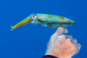 A Caribbean reef squid (Sepioteuthis sepioidea) perches on the hand of a diver. North Wall, Grand Cayman, Cayman Islands, West Indies, Caribbean Sea, April 2008, no release available. - Alex Mustard