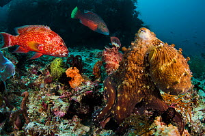 A common reef octopus (Octopus cyanea) foraging attracts several large reef fish, hoping to get an easy meal. Octopuses may try to hit fish with their arms to scare them off. Cannibal Rock, Sawu Sea,...  -  Alex Mustard