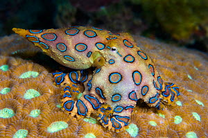 Tropical blue ring octopus (Hapalochlaena lunulata) is small but has one of the most venomous creatures in the ocean, its bite injects a neurotoxin that paralyses its victim. It flashes its blue rings... - Alex Mustard