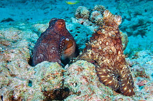 Common reef / day octopuses (Octopus cyanea) mating. The male, on the right, it passing his sperm to the female, on the left, by placing it under her mantle. His arm is visible on her body next to her...  -  Alex Mustard